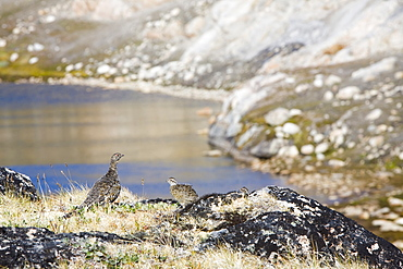 A female ptarmigan with young on the Greenland tundra near Camp Victor, west Greenland, Polar Regions