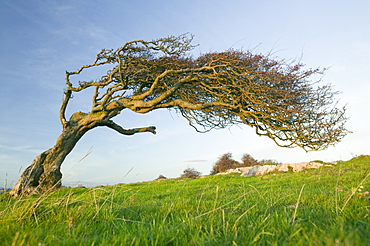 Hawthorns bent over by the prevailing wind on Humphrey Head Point above Morecambe Bay near Grange over Sands, Cumbria, England, United Kingdom, Europe