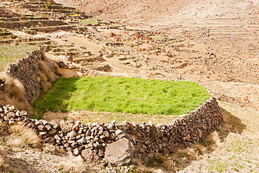 Field terraces growing saffron above a Berber village in the Anti Atlas mountains of Morocco, North Africa, Africa