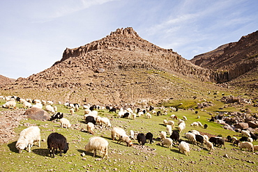 A Berber flock of sheep and goats in a high valley in the Anti Atlas mountains of Morocco, North Africa, Africa