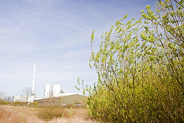 Willow trees being grown as biofuel next to the Steven's Croft biofuel power station in Lockerbie, Scotland, United Kingdom, Europe