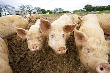 Organic Middle white pigs at Washingpool farm in Bridport, Dorset, England, United Kingdom, Europe