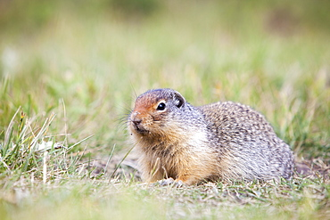 A Columbian ground squirrel (Urocitellus columbianus) outside its burrow in Canmore, Alberta, Rocky Mountains, Canada, North America