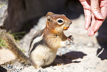 A chipmunk in the Canadian Rockies being fed by a tourist, Canada, North America