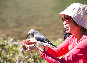 A Clarks nutcracker (Nucifraga columbiana) being fed by a Japanese tourist above Lake Louise, Rocky Mountains, Canada, North America