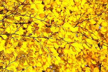 Beech leaves in autumn, Wharfedale, Yorkshire, England, United Kingdom, Europe