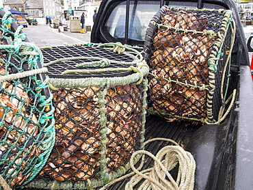 Edible crabs landed at Padstow, Cornwall, England, United Kingdom, Europe
