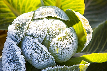 Frost on green cabbage being grown on the Lancashire Fylde coast near Southport, Lancashire, England, United Kingdom, Europe