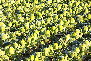 Green cabbage being grown on the Lancashire Fylde coast near Southport, Lancashire, England, United Kingdom, Europe