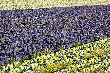 Green and red cabbage being grown on the Lancashire Fylde coast near Southport, Lancashire, England, United Kingdom, Europe