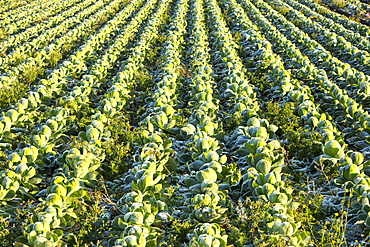 Front on cabbage being grown on the Lancashire Fylde coast near Southport, Lancashire, England, United Kingdom, Europe