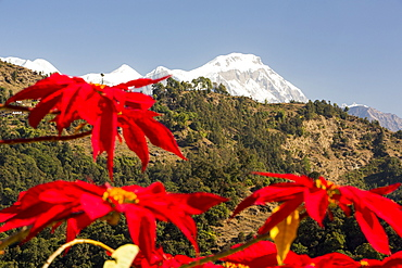 Poinsettia trees flowering in the Himalayas near Pokhara, with Annapurna South in the background, Nepal, Asia
