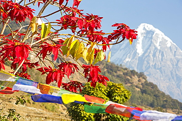 Poinsettia trees flowering near Pokhara, with Annapurna South in the background, Nepal, Asia