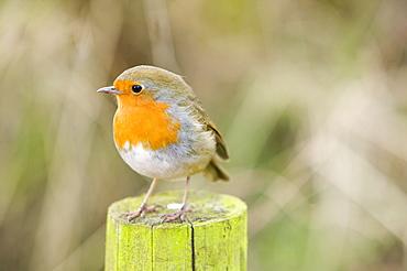 A European robin, United Kingdom, Europe