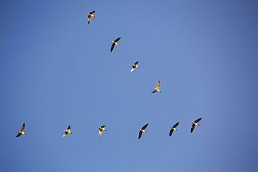 Pink footed geese (Anser brachyrhynchus) flying in V formation over the Fylde, Lancashire, England, United Kingdom, Europe