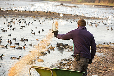 Mixed flocks of wildfowl being fed with grain at Martin Mere, a Wildfowl and Wetlands Trust bird reserve near Southport, Lancashire, England, United Kingdom, Europe