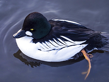 Common goldeneye (Bucephala clangula) at Martin Mere, a Wildfowl and Wetlands Trust bird reserve near Southport, Lancashire, England, United Kingdom, Europe