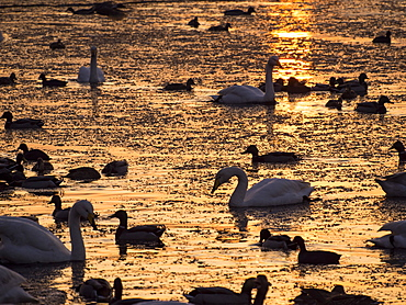 Whooper swans (Cygnus cygnus) and mixed duck flocks at sunset at Martin Mere, a Wildfowl and Wetlands Trust bird reserve near Southport, Lancashire, England, United Kingdom, Europe