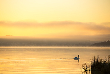 A mute swan on Lake Windermere at Waterhead at sunrise, with will o wisp mist, Ambleside, Lake District National Park, Cumbria, England, United Kingdom, Europe