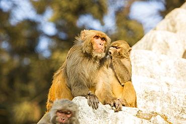 Monkeys at Pashupatinath Temple, a Hindu temple of Lord Shiva located on the banks of the Bagmati River Kathmandu, Nepal, Asia