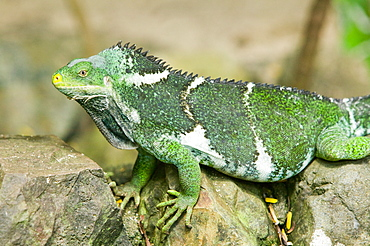 A Fiji banded iguana, Fiji, Pacific