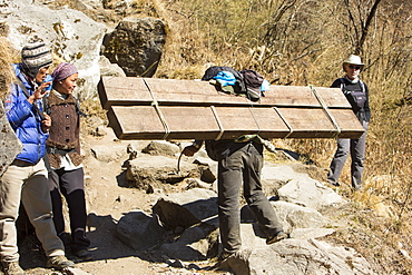 Porter carying a heavy load of timber on the Annapurna Base Camp Trek, Himalayas, Nepal, Asia