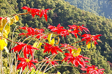 Poinsettia trees flowering in the Himalayas near Pokhara, Nepal, Asia