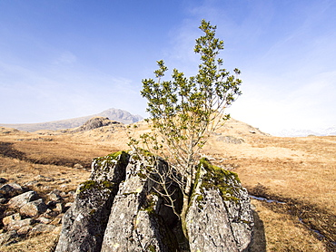 A holly tree growing in a split rock, the only tree in the area, as the rest have been grazed out by sheep, Lake District, Cumbria, England, United Kingdom, Europe