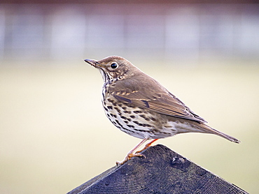 A song thrush (Turdus philomelos) on a fence post, Cumbria, England, United Kingdom, Europe