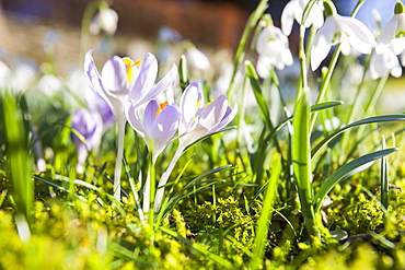 Snowdrops and crocus growing in Brathay church yard near Ambleside, Lake District, Cumbria, England, United Kingdom, Europe