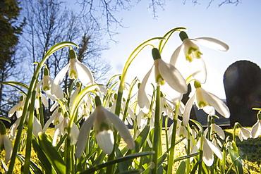 Snowdrops growing in Brathay church yard near Ambleside, Lake District, Cumbria, England, United Kingdom, Europe