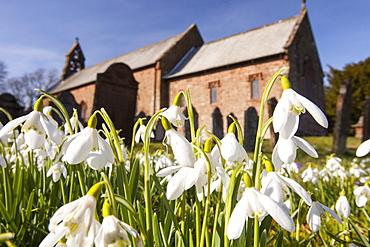 Snowdrops growing in Gosforth church yard, Cumbria, England, United Kingdom, Europe