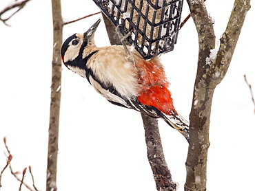 A Great spotted woodpecker (Dendrocopus major) on a bird feeder in a garden in Ambleside, Lake District, Cumbria, England, United Kingdom, Europe