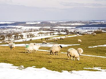Sheep on Hope Bowdler Hill above Church Stretton, looking towards Wenlock Edge, Shropshire, England, United Kingdom, Europe