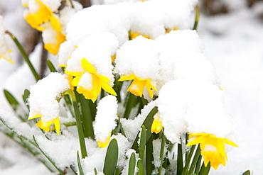 Daffodills covered in snow, Ambleside, Lake District, Cumbria, England, United Kingdom, Europe