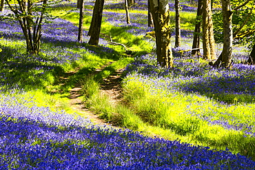 Bluebells growing in Jiffey Knotts woods at Brathey, near Ambleside in the Lake District National Park, Cumbria, England, United Kingdom, Europe