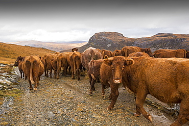 A farmer droves his cattle out of the remote Strath Na Sealga where they have been grazing over the summer, to take them in for winter time, near Dundonnel in the north West Highlands.