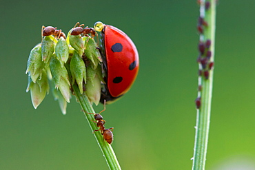 Adoration of high aphid. Nature, Moldova, ant, ants, insect, summer, Green,  Flower, macro, aphid