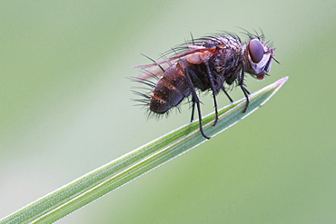 Barbed fly. Nature, Moldova, insect, summer, Green,  macro, fly