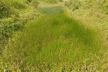 Wet dune slack, Broad Haven South, Pembrokeshire, Wales, UK, Europe