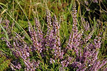 Ling Calluna vulgaris heather Deer Park, Marloes, Pembrokeshire, Wales, UK, Europe