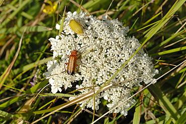 Beetles on plant, Deer Park, Marloes, Pembrokeshire, Wales, UK, Europe