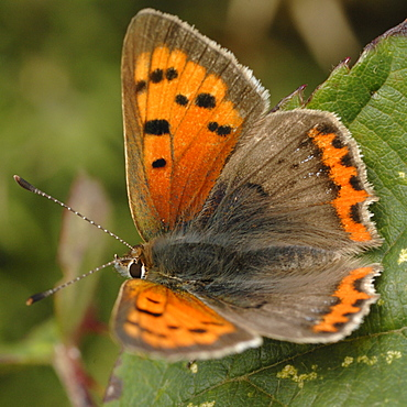 Small Copper butterfly Lycaena phlaeus - 915-1023