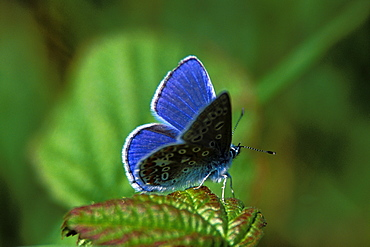 Common blue butterfly - 915-1084