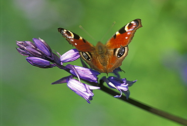 Peacock butterfly - 915-1089