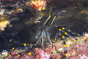 Common prawn (Palaemon serratus), St Brides, Pembrokeshire, Wales, UK, Europe