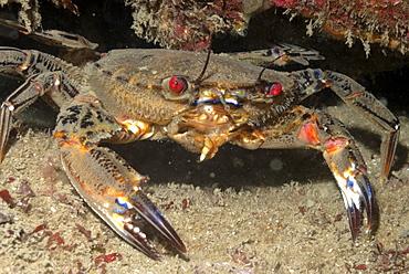 Velvet swimming crab (Liocarcinus puber), St Brides, Pembrokeshire, Wales, UK, Europe     (rr)