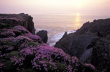 Sea Pink, Thrift, Skokholm Island, Pembrokeshire, West Wales, UK
