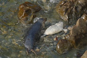 Atlantic Grey Seal mother and pup ( Halichoerus grypus), Deer Park, Martins Haven, Pembrokeshire, Wales, UK, Europe