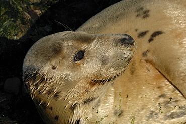 Female cow Atlantic grey seal lying on beach (Halichoerus grypus), Martins Haven, Marloes, Pembrokeshire, Wales, UK, Europe